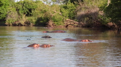 HIPPOPOTAMUS AFRICAN WILDLIFE AMPHIBIUS HERBIVORE Stock Footage