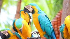 Group of shouting aggressive colorful parrot macaw Stock Footage