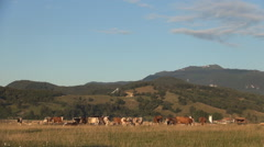 Cows farm image in mountain landscape. - stock footage