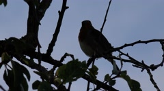 Wildlife Bird Singing In A Tree Silhouette Against Sky Red Robin Stock Footage