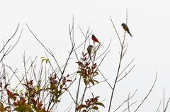 Scarlet minivet birds, males are redness, female and the chicks will be yello Stock Photos