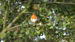 Wildlife Bird Red Robin In A Tree And Flys Away Stock Footage