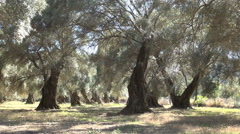 Olive trees orchard mediterranean homestead. Stock Footage