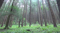 Forest with taller trees. Hd landscape. Wild nature. Stock Footage