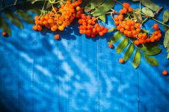 autumnal background rowan fruits blue wooden board - stock photo