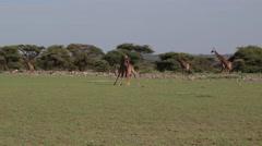 GIRAFFES NECKING AFRICA Stock Footage