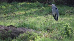 Heron sitting in a grass area Stock Footage