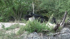 4k Zoom and low angle Eastern Timber Wolves pack in rocky hills Stock Footage
