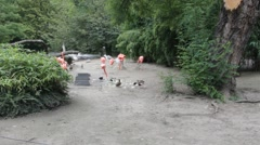 Group of American Flamingo in  Zoo Stock Footage