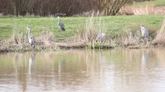 Four herons by a lake Stock Footage