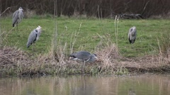 Four herons fishing and cleaning Stock Footage