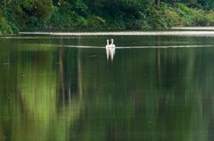 White swan and its mate are swimming in the lake Stock Photos