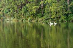 white swan and its mate are swimming in the lake - stock photo