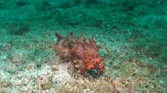 Pfeffer's flamboyant cuttlefish Stock Footage