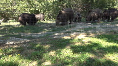 HD. Old bears protected in natural shelter. Group of bears feeding in captivity. Stock Footage