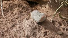 Banded mongoose digs sand - stock footage