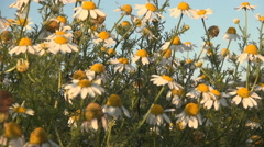 HD. Close up beautifull chamomile flowers. Field of chamomile flowers. Stock Footage
