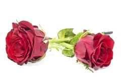 two fading red rose buds past their best - stock photo