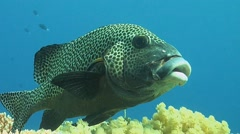 Cleaning station for Harlequin sweetlips Stock Footage