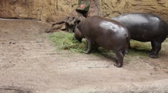 Pygmy hippopotamus  have dinner at Zoo Stock Footage