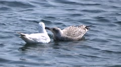 Herring Gull and fledgling Stock Footage