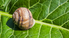 Snail Crawls Out Of Its Shell - stock footage