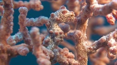 Pygmy Sea Horse 01 Stock Footage