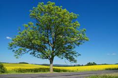 solitaire deciduous tree with an asphalt road in front of a flowering rape fi - stock photo