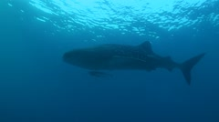Whale shark in blue water Stock Footage