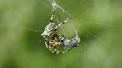 Stock Video Footage of 4K Giant Lichen Orbweaver (Araneus bicentenarius) Spider 2