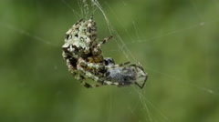 Stock Video Footage of 4K Giant Lichen Orbweaver (Araneus bicentenarius) Spider 3