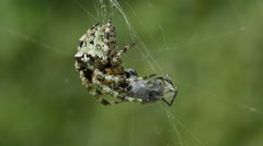 Stock Video Footage of Giant Lichen Orbweaver (Araneus bicentenarius) Spider 3