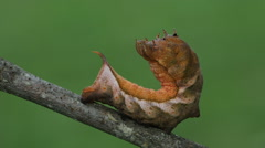 Virginia Creeper Sphinx (Darapsa myron) - Caterpillar 1 Stock Footage