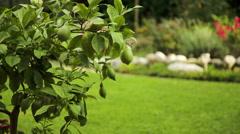 Unripe green lemons on tree at home Stock Footage