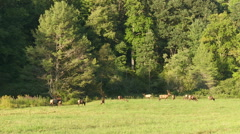 Bull Elk and Harem 2 Stock Footage