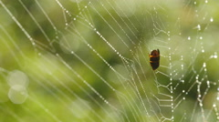 4K Dew Covered Spider Web 1 Stock Footage