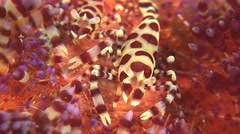 Coleman shrimp on a fire urchin - stock footage