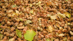 Close-up harvesting and drying hazelnuts 2/4 pan Stock Footage