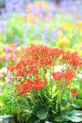 Sweet Alyssum (Lobularia maritima). Stock Photos