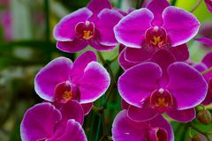 Pink Orchids in the garden (Phalaenopsis Hybrid) Stock Photos
