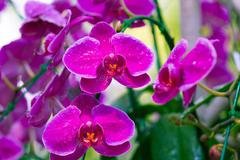 Pink Orchids in the garden (Phalaenopsis Hybrid) - stock photo