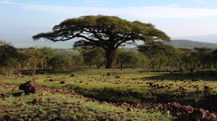 NGORONGORO CRATER CALDERA CONSERVATION AREA AFRICA ACACIA TREE Stock Footage