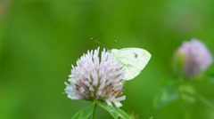 Large white butterfly Stock Footage