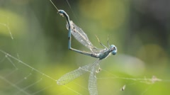 Damselfly captured by spider Stock Footage