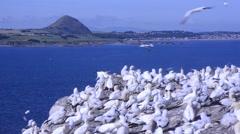 Gannetts (Morus bassanus) in  Bass Rock gannetry ,  Scotland, UK, Stock Footage