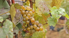 Harvest white wine grapes Stock Footage