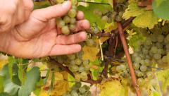 Picking white wine grapes Stock Footage