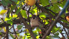 House Sparrow in apple tree, Passer domesticus Stock Footage