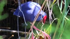 A purple swamp hen forages for food in a wetlands area. Stock Footage