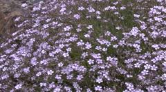 Purple Alpine Flowers 2 Stock Footage
